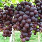 Tutti giovani mangiando uva