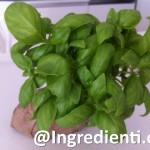 Basilico, proprietà e metodi di conservazione